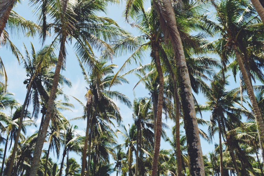 palm trees, phillipines, phillipino palm trees, travel the phillipines